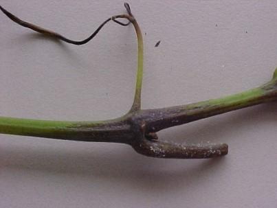 Sintomas de míldio no ramo – Foto: Lucas da Ressurreição Garrido